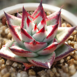 Genial Image Is Loading Echeveria Agavoides 039 Ebony 039 4cm Succulent Live