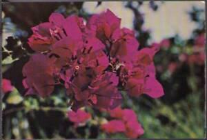 quu-Flower-Postcard-Dougainvellaea