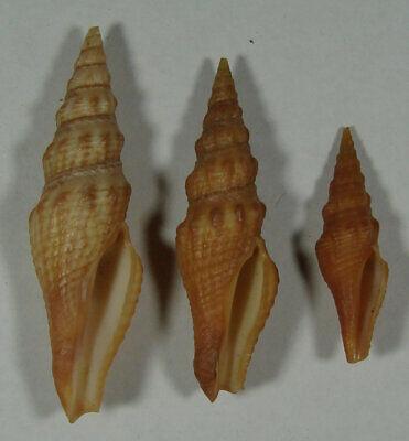 Baja Sur Mexico Intellective Crassispira Maura 33-53mm Beautiful Specimens Los Cabos