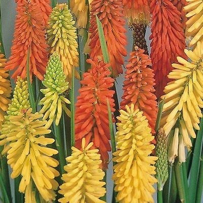 Flower - Kniphofia Flamenco Mixed - Red Hot Poker - 50 Seeds - Large Pack