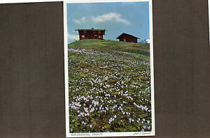 Switzerland lake Bergfruhling crocus meadow   card unposted