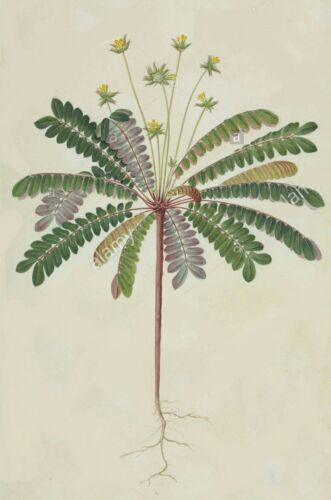 Jurassic Sensitive Plant Live-leaf plant Biophytum sensitivum Seeds ~Ayurvedic