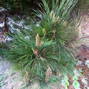 Pine Carrasco Pinus Halepensis 55 Seeds Seeds Suitable For Bonsai Ebay