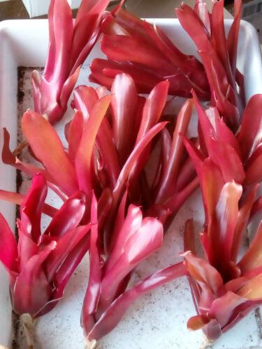 Neoregelia Super Fireball ROJO planta Bromelia interior 15 cms aprox tillandsia