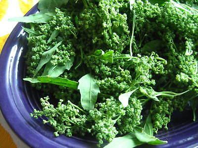 African Spinach 25+ seeds Nyengele Talinum portulacifolium Graines