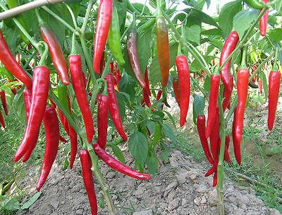 Liveseeds Vegetable Garden Indian bird eye Chilli 100 seeds