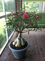 Desert Rose (Adenium obesum) - Well Rooted Succulent Plants - Caudex Bonsai