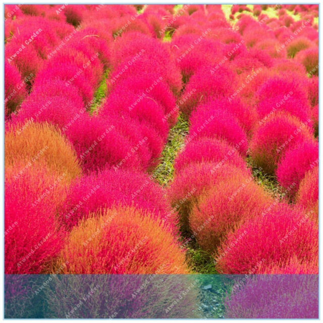 Grass Perennial 100 Seeds Plants Burning Bush Kochia Scoparia Red