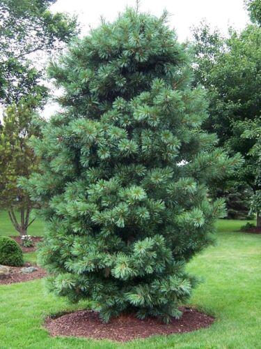 30 seeds Korean Pine Chinese Pinenut Pinus koraiensis