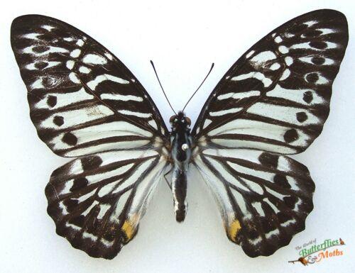 Graphium Delessertii Malaya Zebra A1 Set x1 Real Butterfly  Entomology Artwork