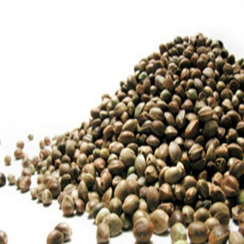 Carp force premium hempseed quality hemp seed for fishing 100g bag