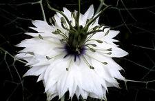300 Graines de Nigelle de Damas Miss Jekyll Blanche (Cheveux de Vénus) / Fleurs