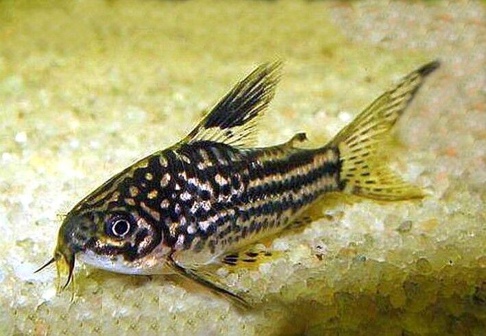 10 (ten) x Corydoras elegans (Catfish)