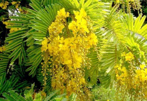 Ferrugineum Copper Pod Tree 10//100//500 Seeds Fragrant Peltophorum Pterocarpum
