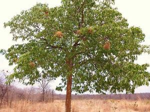 Swietenia Mahogani Mahogany Timber Big Tree Bonsai Rare