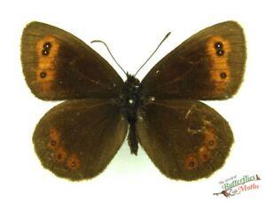 Escoces-Argus-Mariposa-Erebia-Aethiops-Juego-x1-Macho-Britanico-Mariposa-j01