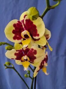 Orchidee Phalaenopsis 'Yellow Cow'  großblütig, blühend (warm. Versand)