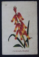 Lachenalia Pendula SOUTH AFRICAN FLOWERS  1st Series  B A T 1922 Silk