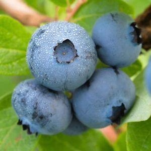 Brightwell-Blueberry-Bush-Hardy-Perennial-Gallon-Pot-1-Plant