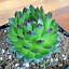 """Mint Marvel Succulent Live Sempervivum Hen Chick Charms Plant grown in 3.5"""" pot"""