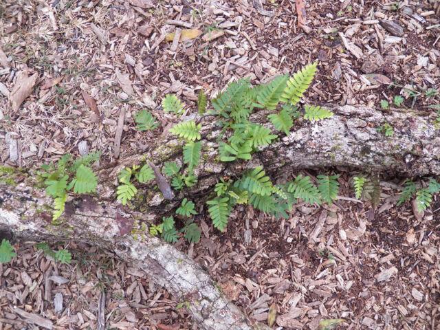 Six Resurrection Ferns Live Terrarium Plants Or Amphibian Reptile