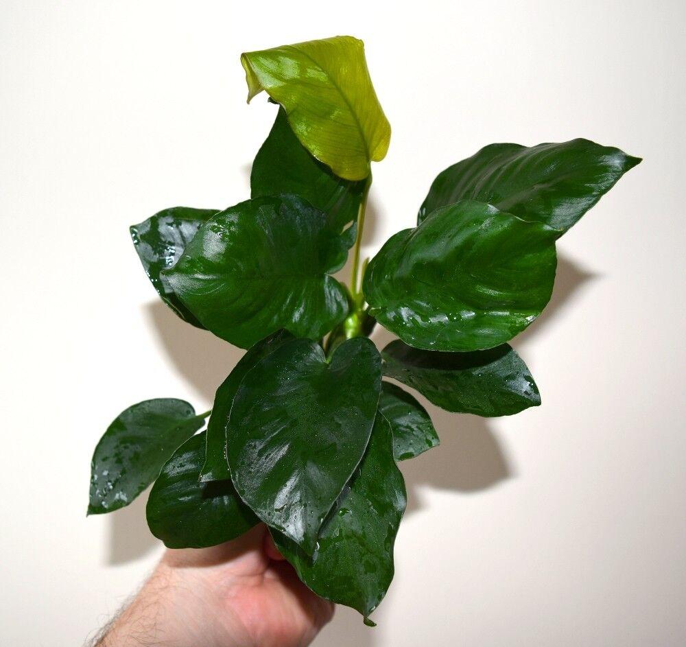 10 DIECI x Anubias Barteri var. barteri 'Diamond'  Hardy piante acquatiche