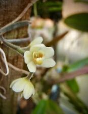 Chiloschista Usneoides Fragrant Cascading Leafless Orchid With Flower Spike Ebay