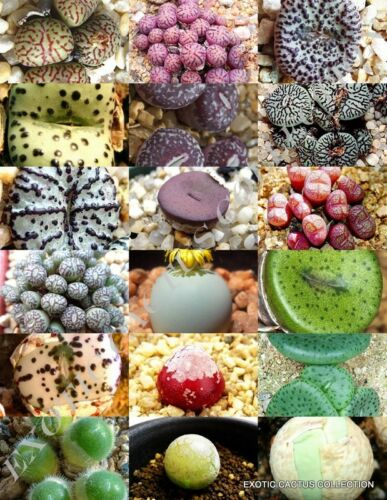 15 SEEDS RARE CONOPHYTUM  MIX succulent cactus mixed living stones rocks seed