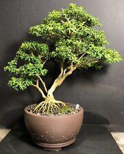 Sumner Pecan Tree 5 Pot For Sale Online Ebay