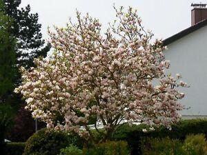 Magnolia-soulangiana-Tulpenmagnolie-140cm-SOLITAR-Magnolienbaum