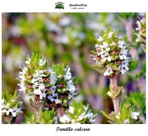 Tomillo Salsero Seeds 500 semillas Thymus zygis gracilis