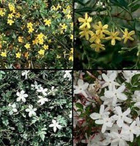 MIXED LOT OF CLIMBERS IN BIG 2 LT POTS 3 X CLIMBING PLANTS JASMINUM SOLANUM