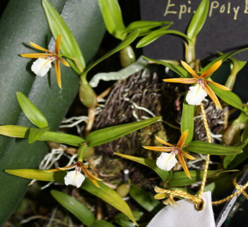 Rare species orchid Dinema polybulbon aka encyclia//epidendrum species SALE!!!