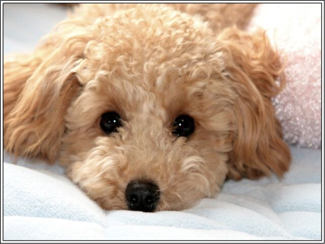 Set Of 4 Puppy Dog Apricot Poodle Stationery Art Greeting Notecards Envelopes