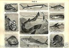 1888= PESCI VARI = Creature marine = Animali = Antica Stampa = Old ENGRAVI