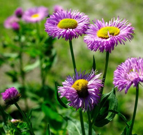 Erigeron speciosus-Rose Bijou 400 graines-Plantes vivaces Erigéron