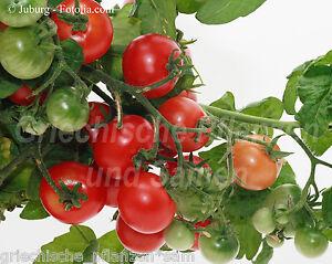 Tomaten hängend