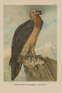 Gypaète Barbu Gypaetus Gypaetus Barbatus Vautour Lithographie 1899 Ornithologie-afficher Le Titre D'origine Prix De Vente Directe D'Usine
