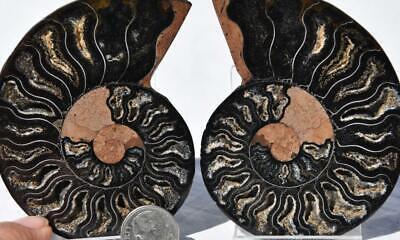 100% Wahr 3261 Selten 1 In 100 Black Ammonite Paar Kristalle Große 146gm Fossil 80mm 3.2