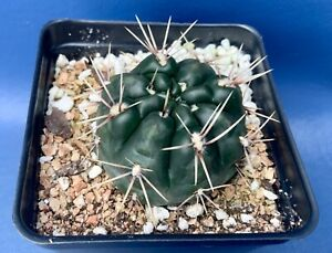 GYMNOCALYCIUM-GIBBOSUM-IN-A-4-POT-SEED-GROWN-CACTUS-PLANT-1730