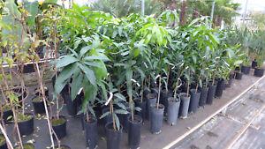 mangobaum höhe