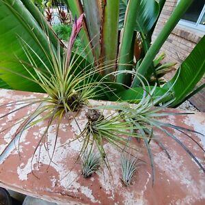 Tillandsia air plants, multi-pack, small, medium, large, house plant