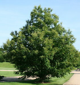 esskastanie marone edelkastanie castanea sativa 80 100 cm kastanie kastanienbaum ebay. Black Bedroom Furniture Sets. Home Design Ideas