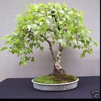 Silver Birch Betula Pendula Bonsai Seed 25 1000 Bonsai Ebay