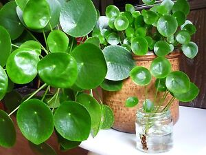 ufopflanze pilea peperomioides geldbaum bauchnabelpflanze zimmerpflanze ableger ebay. Black Bedroom Furniture Sets. Home Design Ideas