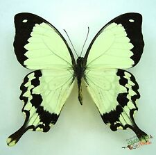Flying handkerchief butterfly Papilio dardanus meriones SET x1 TS A1- M display
