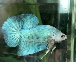 "betta fish giant jr blue marble size BO 2"""