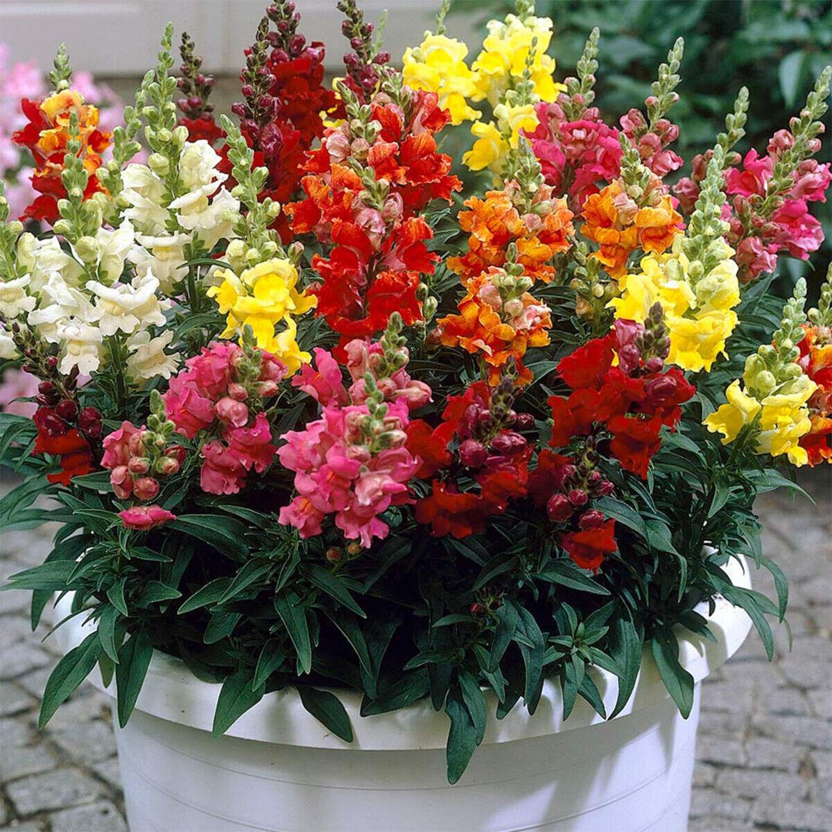 100 Giant Snapdragon Seeds Antirrhinum Majus Mix Colour Border container Flower