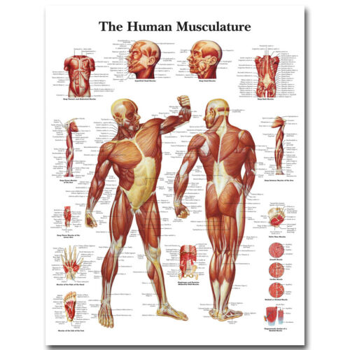 """Human Anatomy Muscles System Silk Poster 13x18/"""" 32x43/"""" Medical Education Picture"""