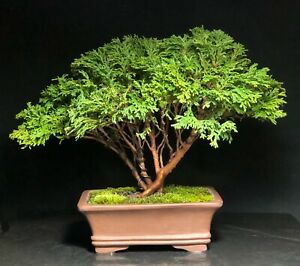 Bonsai Tree Chamaecyparis Pisifera Tsukumo Cypress Mame 15 Years Chinese Pot Ebay
